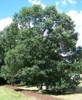 Swamp White Oak II